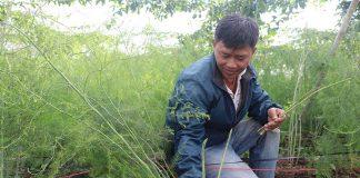 An Khê: Mở rộng diện tích măng tây