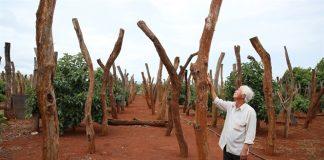 Gia Lai: Giải pháp nào cứu người dân trồng cây tiêu?
