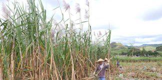 """Nông dân khu vực phía Đông tỉnh tiếp tục nếm trải một mùa mía """"đắng"""". Ảnh: H.T"""
