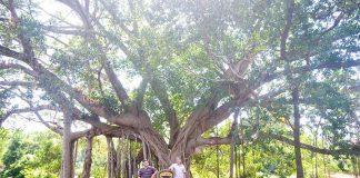 Chuyện ít biết về cây đa làng Ghè
