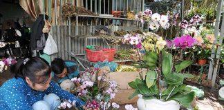 Làng nghề cây hoa cảnh Giới Tế: Góp thêm sắc xuân Phố núi