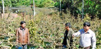 TP Pleiku: Người trồng hoa khẩn trương chăm sóc hoa, cây cảnh phục vụ Tết