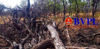 Gia Lai: Phát hiện vụ chặt phá rừng quy mô lớn tại rừng phòng hộ Ia Meur