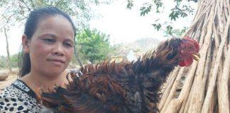 Gia Lai: 'Quái' gà lông dựng đứng xù như lông nhím, nuôi tặng chứ không bán