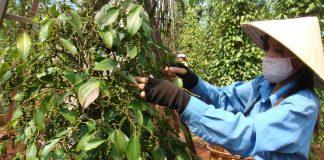 Gia Lai: Giá hồ tiêu thấp kỷ lục, dân không dám trồng mới