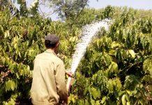 Gia Lai: Nhiều chủ vườn lao đao vì cà phê mất mùa, rớt giá