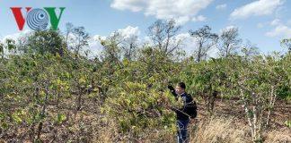 Giữa mùa khô, nông dân Gia Lai quay cuồng chống hạn cho cà phê