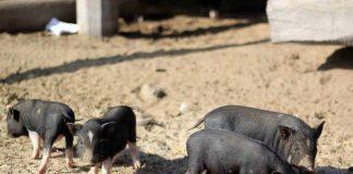 Lợn con mới sinh ra có màu đen, khoang trắng hoặc sọc dưa giống lợn rừng. Ảnh: Chí Hào
