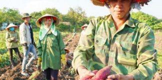 Nóng: Gia Lai lên kế hoạch giải cứu 14.000 tấn khoai lang Nhật