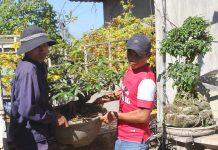 Khách hàng chở mai đến vườn mai Minh Hào nhờ chăm sóc. Ảnh: H.P