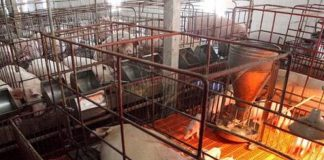 Đồng Nai quyết liệt phòng, chống dịch tả lợn châu Phi