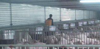 Dịch tả lợn châu Phi lan đến Nghệ An