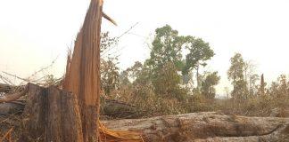 Nhiều cây gỗ lớn như thế này bị chặt hạ trái phép - Ảnh: Trần Hiếu