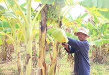 Ông Rơ Lan Hêl (làng Sung Le Kắt, xã Ia Kla) chăm sóc vườn chuối của gia đình. Ảnh: N.S