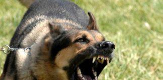 Bé trai nguy kịch khi bị đàn chó tấn công