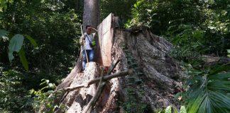 Chùm ảnh: 'Báu vật' cuối cùng của rừng già Tây Nguyên bị tàn sát