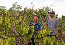 Nhiều diện tích cà phê ở xã Ia Pia đã héo khô vì thiếu nước tưới. Ảnh: H.T