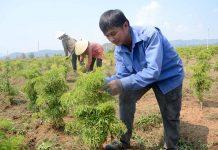 Ông Chế Linh chăm sóc rẫy đinh lăng rộng gần 2 ha hơn 1 năm tuổi của mình. Ảnh: T.Đ