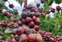 Giá cà phê Tây Nguyên 'đỏ sàn', giá tiêu cũng mất kiểm soát