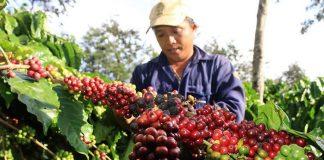 Giá cà phê bất ngờ tăng trở lại; cao su, hồ tiêu, lúa gạo biến động
