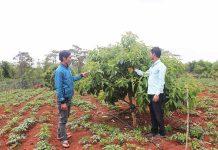 Kỹ sư nông nghiệp (bên phải) hướng dẫn người dân xã Sơ Pai cách chăm sóc vườn cây ăn quả theo hướng hữu cơ. Ảnh: Ngọc Minh
