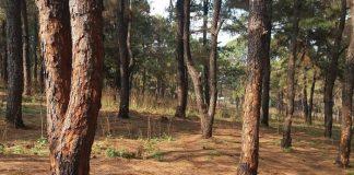 Những hình ảnh về rừng thông ở Gia Lai liên tiếp bị 'bức tử'