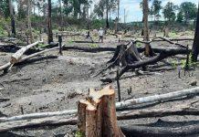 Hiện trường 1 vụ phá rừng tại Ban Quản lý rừng phòng hộ Đức Cơ. Ảnh: Chí Hào
