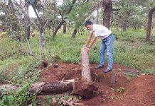 Hiện trường nơi một cây thông bị đào trộm. Ảnh: V.N