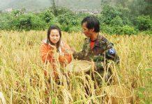 Người dân xã Kon Pne (huyện Kbang) thu hoạch lúa rẫy.   Ảnh: N.G