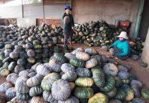 Người trồng bí lỗ nặng vì mất mùa. Ảnh: H.S