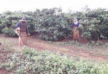 Sau khi dứt mưa, vườn cà phê nhà anh Nguyễn Hữu Nghị (thôn Tân Lập, xã Ia Sao) được làm cỏ để hạn chế sâu bệnh hại.             Ảnh: L.N