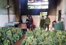 Đoàn liên ngành kiểm tra an toàn thực phẩm tại cơ sở sản xuất chuối sấy Kim Liên- đường Nay Der, TP.Pleiku. Ảnh: N.N