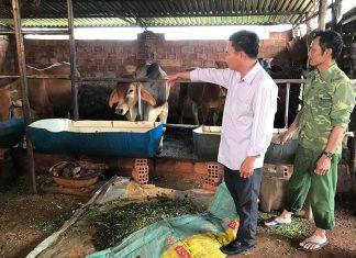 Bê con giống BBB của gia đình ông Võ Đình Quân (bìa phải) ở thôn Hòa Bình, xã Bàu Cạn, huyện Chư Prông.                     Ảnh: N.D