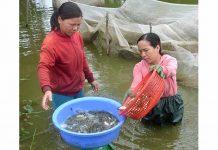 Nghề nuôi cá đã giúp nhiều nông dân ở huyện Phú Thiện có thu nhập gấp 10 lần trồng lúa. Ảnh: Đ.P