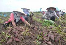 Người dân thu hoạch khoai lang.  Ảnh: internet