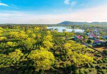 Hoa muồng vàng ở thôn Tây Hồ (xã Bàu Cạn, huyện Chư Prông). Ảnh: PHAN NGUYÊN