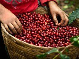 """Việt Nam đang vươn lên thành một """"quốc gia cà phê"""" trên thế giới. (ảnh internet)"""