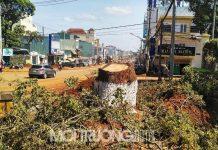 Gia Lai: Cây xanh cổ thụ bị cưa hạ, nhiều người xót xa