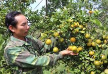 Vườn cam, quýt trĩu quả của gia đình anh Đặng Văn Đức (thôn 1, xã Sơ Pai, huyện Kbang) mỗi năm cho thu nhập trên 350 triệu đồng. Ảnh: N.M