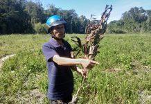 Gia Lai: Công ty lâm nghiệp bức tử vườn cây của dân!