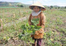 Ruộng bí của bà Lê Thị Thu (thôn 2, xã Đông, huyện Kbang) giảm mạnh năng suất do bị nhiễm bệnh khảm lá. Ảnh: H.S