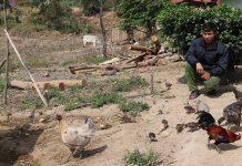 Gia Lai: Đặc sản gà đen ở Ya Hội