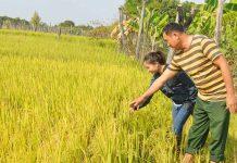 Ông Lâm Văn Vệ (thôn Bắc Thái) kiểm tra diện tích lúa của gia đình để chuẩn bị thu hoạch. Ảnh: P.D