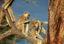 Khỉ đầu chó có xu hướng thích chải chuốt, âu yếm gần gũi bạn khác giới - Ảnh: SciTechDaily