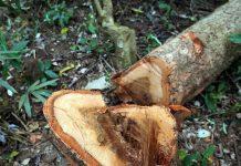 Bắt 3 đối tượng liên quan vụ phá rừng hương cổ thụ tại Gia Lai