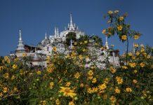 Ngắm hoa dã quỳ ở xứ Chùa vàng