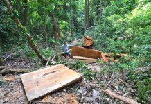 Tạm giữ 3 đối tượng cưa hạ cây gỗ hương ở Kbang