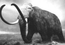 Voi ma mút là động vật ăn cỏ và các loài cây thuộc ngành thông. Người ta cũng cho rằng ngoài cỏ, voi ma mút Columbia ăn các loại quả lớn ở Bắc Mỹ.