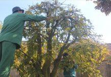 Nhiều chủ vườn mai ở phố núi Pleiku, Gia Lai thuê 10-15 nhân công hái lá, tỉa cành để cho cây mai nở đúng dịp Tết
