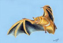 Hình minh họa của một nghệ sĩ về Myotis nimbaensis, loài dơi mới được tìm thấy ở dãy núi Nimba, Tây Phi. Ảnh: Fiona Reid.